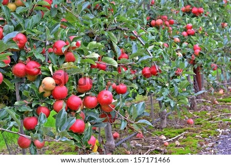 apples on the trees - stock photo