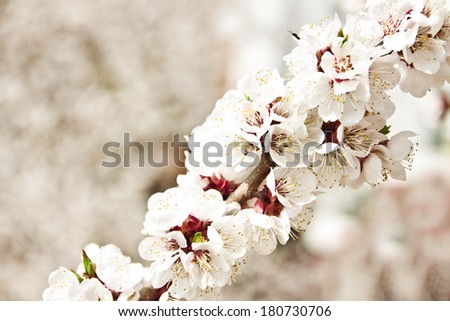 apricot blossoming branch on light background - stock photo