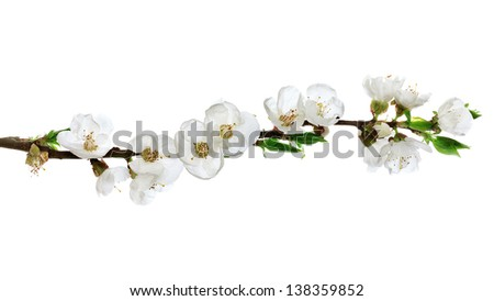 apricot flower isolated on white background