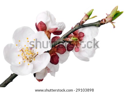 Apricot flower on white background (isolated). - stock photo
