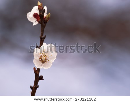 Apricot flowers, apricot tree, flowering apricot, blooming trees in the garden - stock photo