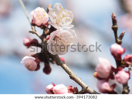 apricot flowers over blurred background