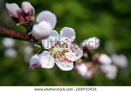 Apricot in bloom - stock photo