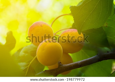 apricot on a branch