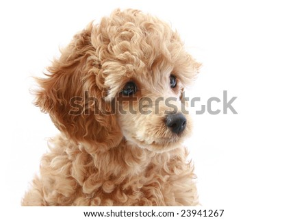 Apricot poodle puppy, isolated on white background