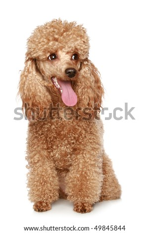 Apricot poodle puppy portrait. Isolated on a white background