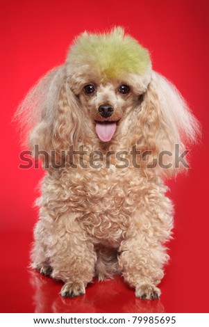 Apricot poodle sits on a red background