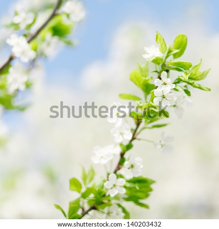 Apricot tree blooming over blue sky. Shallow depth of field