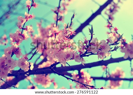 Apricot Tree Branch With Pink Retro Vintage Flowers Blooming