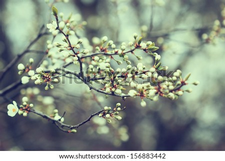 apricot tree buds in spring - stock photo