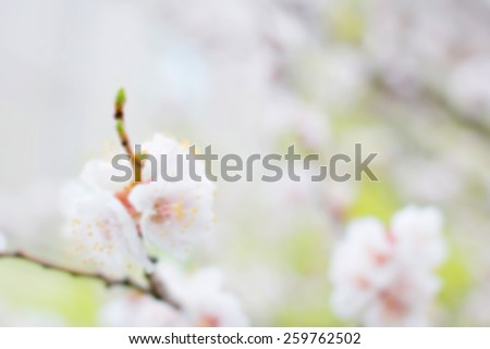 Apricot tree flower. Spring flowers blooming tree branches. Blurred background and bokeh in the background of the text, design, advertising, popular trends.For a background image to insert text. - stock photo