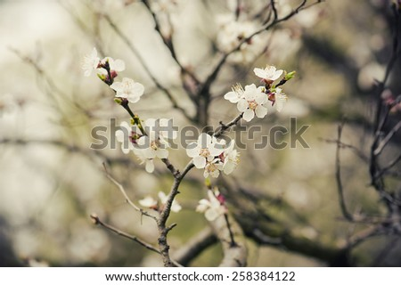 Apricot tree flower with buds blooming at springtime, vintage retro floral background - stock photo