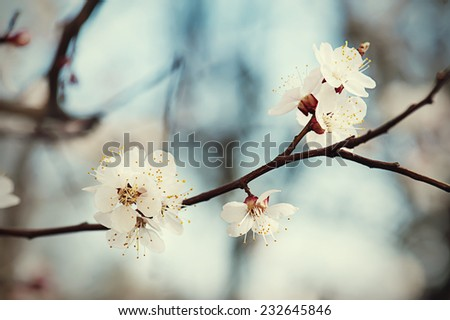 Apricot tree flower with buds blooming at sptingtime, vintage retro floral background - stock photo