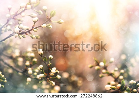 apricot tree twigs blooming in spring - stock photo