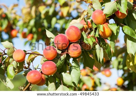 apricots in orchard - stock photo