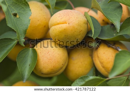 Apricots on the branch
