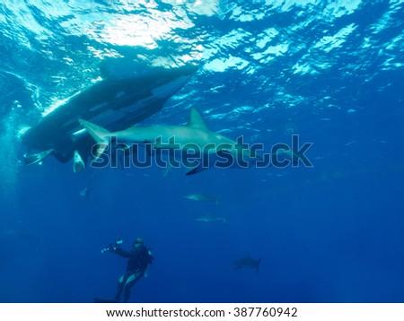 aqualungers and Caribbean reef sharks (Carcharhinus perezi) undersea - stock photo