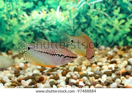 Aquarian fish floats in an aquarium - stock photo