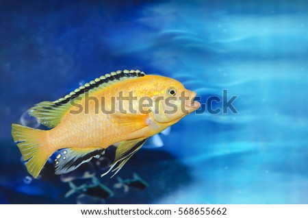 Aquarium blue background with one yellow fish.