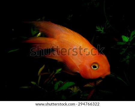 Aquarium fish     - stock photo