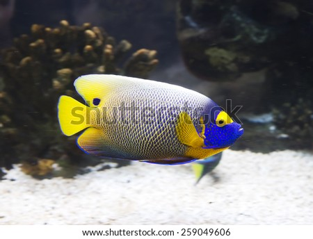 Aquarium fish-angel blue head. It's quite timid, cautious fish, leading a solitary lifestyle. In the case of anxiety, it can produce loud sounds.