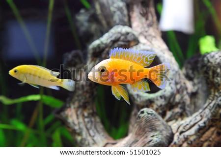 Aquarium Fish dwarf Cichlid-Aulonocara(Aulonocara sp. Orchidea Red) - stock photo