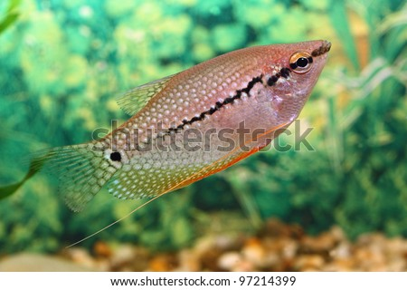 Aquarium fish floats in an aquarium - stock photo