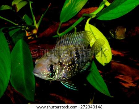 Aquarium fish from Cichlidae family. Andinoacara pulcher or Aequidens pulcher.  - stock photo