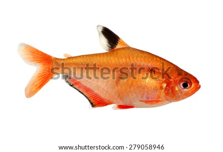 aquarium fish Serpae Tetra Barb Hyphessobrycon serape eques freshwater isolated on white - stock photo