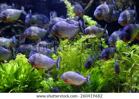 Aquarium fishes and algae