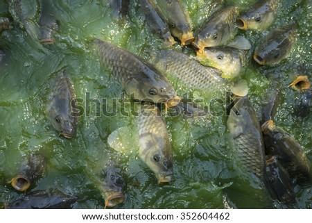 aquarium, green river shoal water, common carp - stock photo