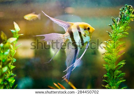 Aquarium Scalare fish floating in the water between plants. Pterophyllum scalare, also referred to as angelfish or freshwater angelfish, is the most common species of Pterophyllum held in captivity - stock photo