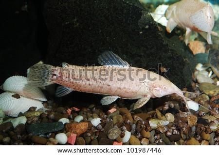 aquarium with fish. white catfish. Green theme - stock photo