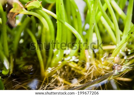 aquatic plant - stock photo