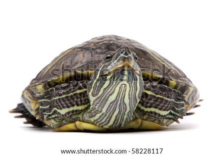 Aquatic turtle isolated on white