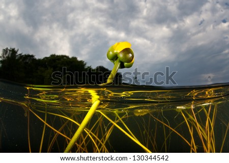 Aquatic vegetation, mainly lilies, grow in the shallows near the shoreline of a freshwater pond in Cape Cod, Massachusetts.  Ponds provide a home to a surprising diversity of aquatic life. - stock photo