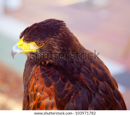 Aquila nipalensis steppe eagle profile in golden sunset light - stock photo