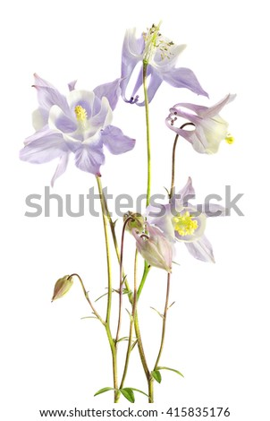 Aquilegia (columbine) flabellata, common name Fan Columbine, Dwarf Columbine, Caldarusa, family Ranunculaceae. Isolated, close up