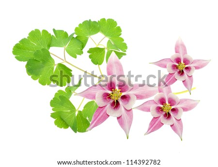 Aquilegia flowers in spring time - stock photo