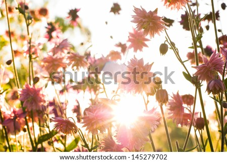 Aquilegia 'Nora Barlow' (Clematis Flowered or Rose Columbine) in sunshine - stock photo