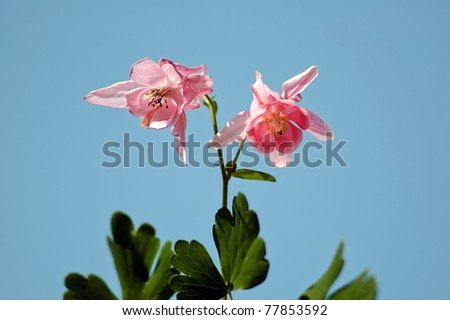 Aquilegia William Guinness or pink bluebell flowers at spring - stock photo