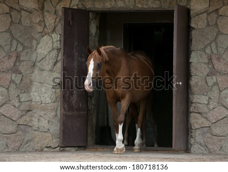 arab horse coming out of stable - stock photo