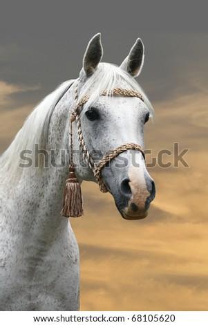 arab horse in sunset - stock photo