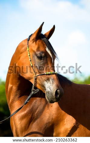 arab horse portrait looking with a halter on - stock photo