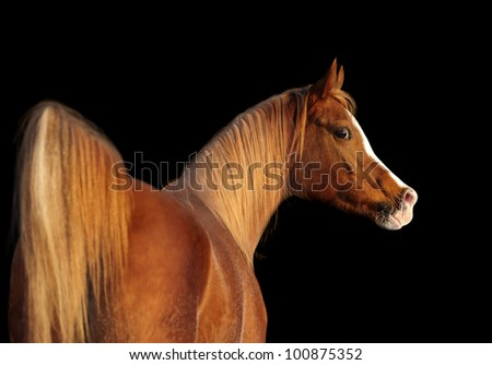 arab horse portrait on black - stock photo