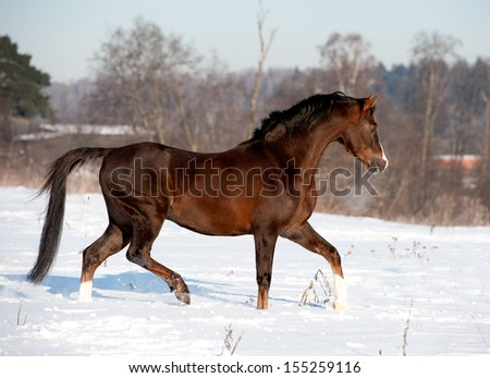 arab horse runs in winter - stock photo