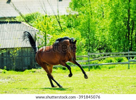 Arab horse runs on a green summer meadow - stock photo