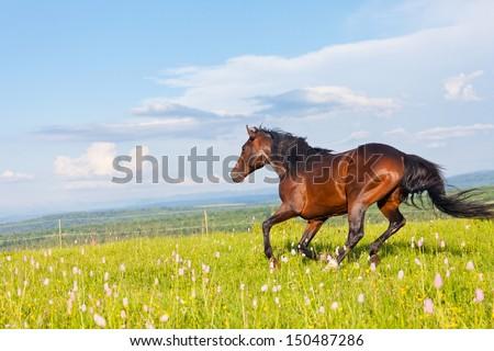 Arab racer runs on a green summer meadow - stock photo