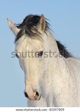 arab stallion - stock photo