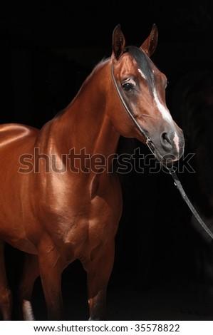 Arabian bay colt - stock photo